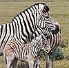 4quagga-species