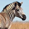 5quagga-zebra