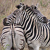 6quagga-zebra