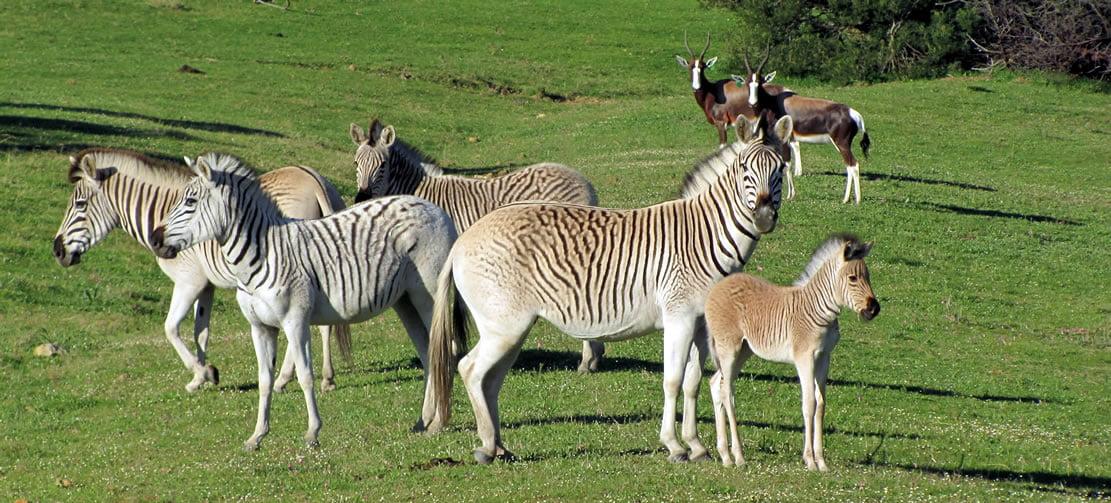 Quagga, South Africa
