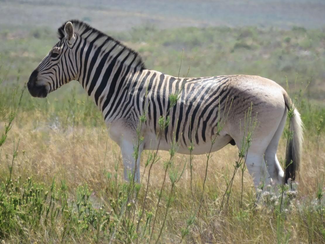 Quagga South Africa